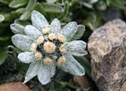 Edelweiss;