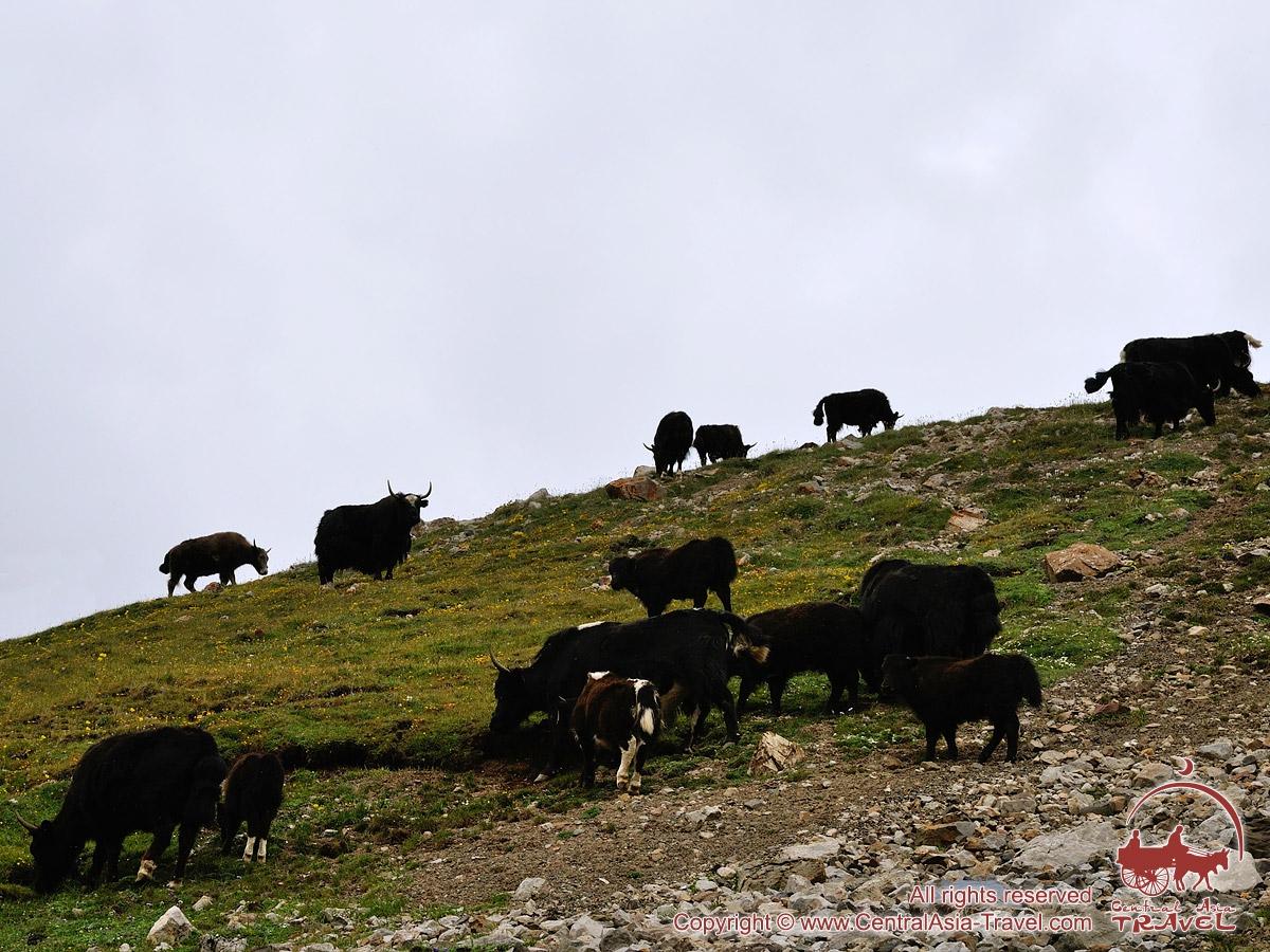 Los yaks. Región de Pamir y Alay, Kirguistán