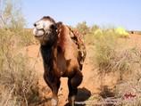 Верблюд в пустыне Кызылкум. Туры на верблюдах по пустыне Кызылкум