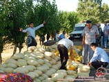 Сорт дыни «Мирзачульская». Узбекистан, Сырдарья