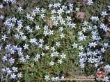 Edelweiss. Flowers of Pamir
