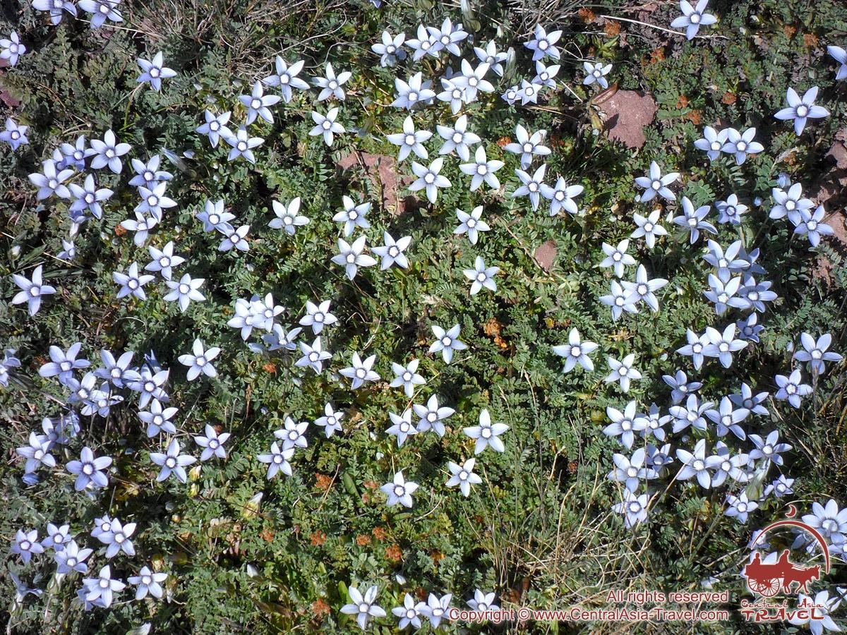 Эдельвейсы. Цветы Памира