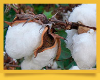 Warmth of White Gold. Cotton in Uzbekistan