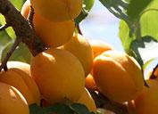Usbekisch Aprikose (Aprikose). Getrocknete Aprikosen