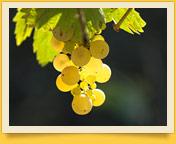 Узбекский виноград. Дары природы Узбекистана