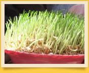 Пророщенная пшеница для сумаляка. Традиции узбекского народа