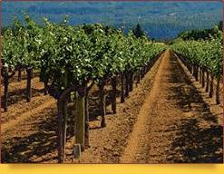 Виноградное хозяйство «Гуля-Кандоз». Узбекистан