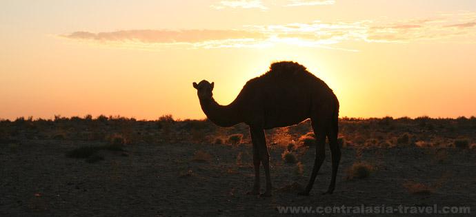 Верблюд в пустыне Кызылкум