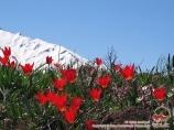 Цветы в горах Чимгана. Узбекистан