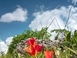 Тюльпаны. Цветы в горах Чимгана. Узбекистан