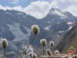 Цветы Памира. Район Памиро-Алая, Кыргызстан цветы памира