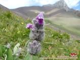 Pamir flowers. Pamir-Alay area, Kyrgyzstan