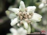 Flowers of Pamir. Kyrgyzstan