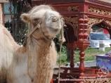 Верблюд. Кашгар, Китай