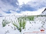 Flores de Pamir. Pico Lenin, Pamir, Kirguistán