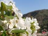 Цветы вишни. Природа Узбекистана