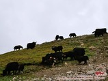 Yacks. Région Pamir-Alaï, Kirghizstan