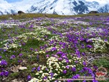 Flowers of Pamir. Lenin peak, Pamir, Kyrgyzstan