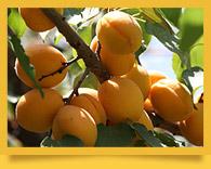 Uzbek urik (apricot). Kuraga