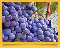 Uzbek grapes