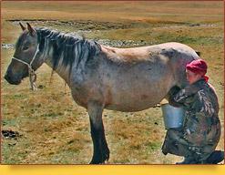 Kumis. Ancienne boisson des nomades à base du lait fermenté