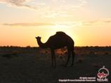 Camel in Kyzyl-Kum desert, Uzbekistan. Tour To Aydarkul Lake via Kyzyl-Kum desert