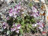 Pamirs flowers. Pamir-Alay area, Kyrgyzstan
