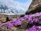 Памирские цветы