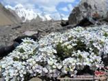 Fleurs du Pamir. Pic Lénine, Pamir, au Kirghizistan
