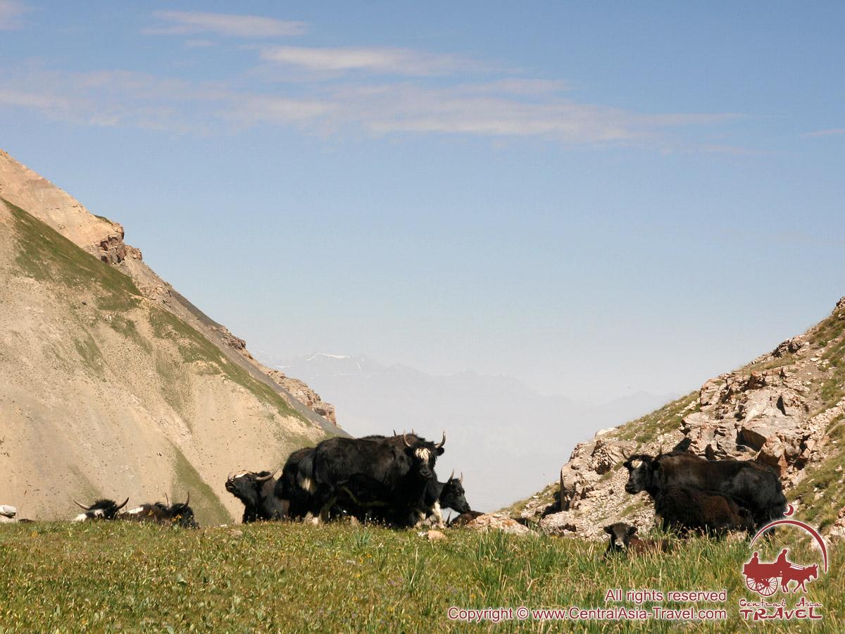 Яки. Район Памиро-Алая, Кыргызстан