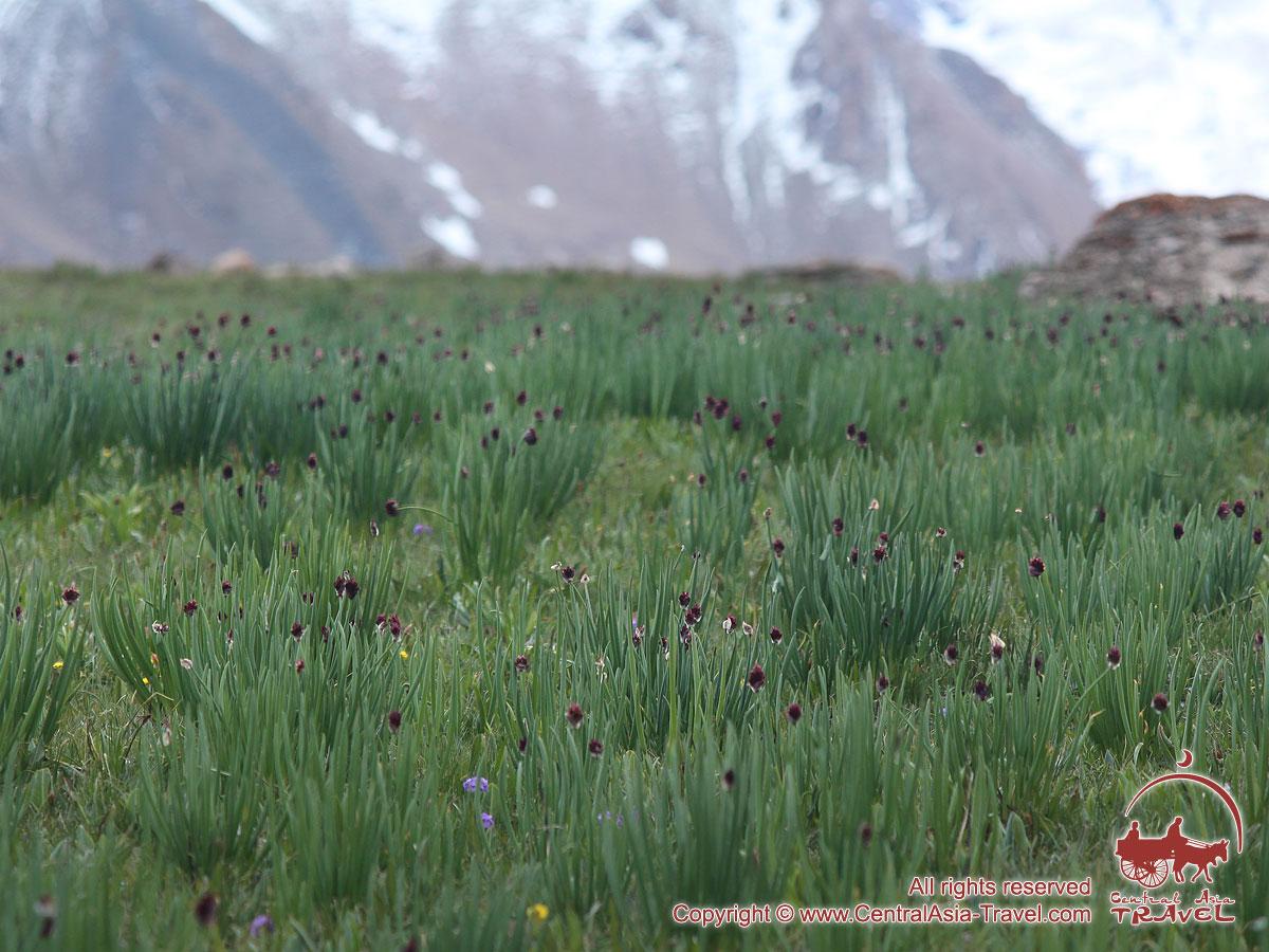 Lukovaya meadow. Lenin peak, Pamir, Kyrgyzstan