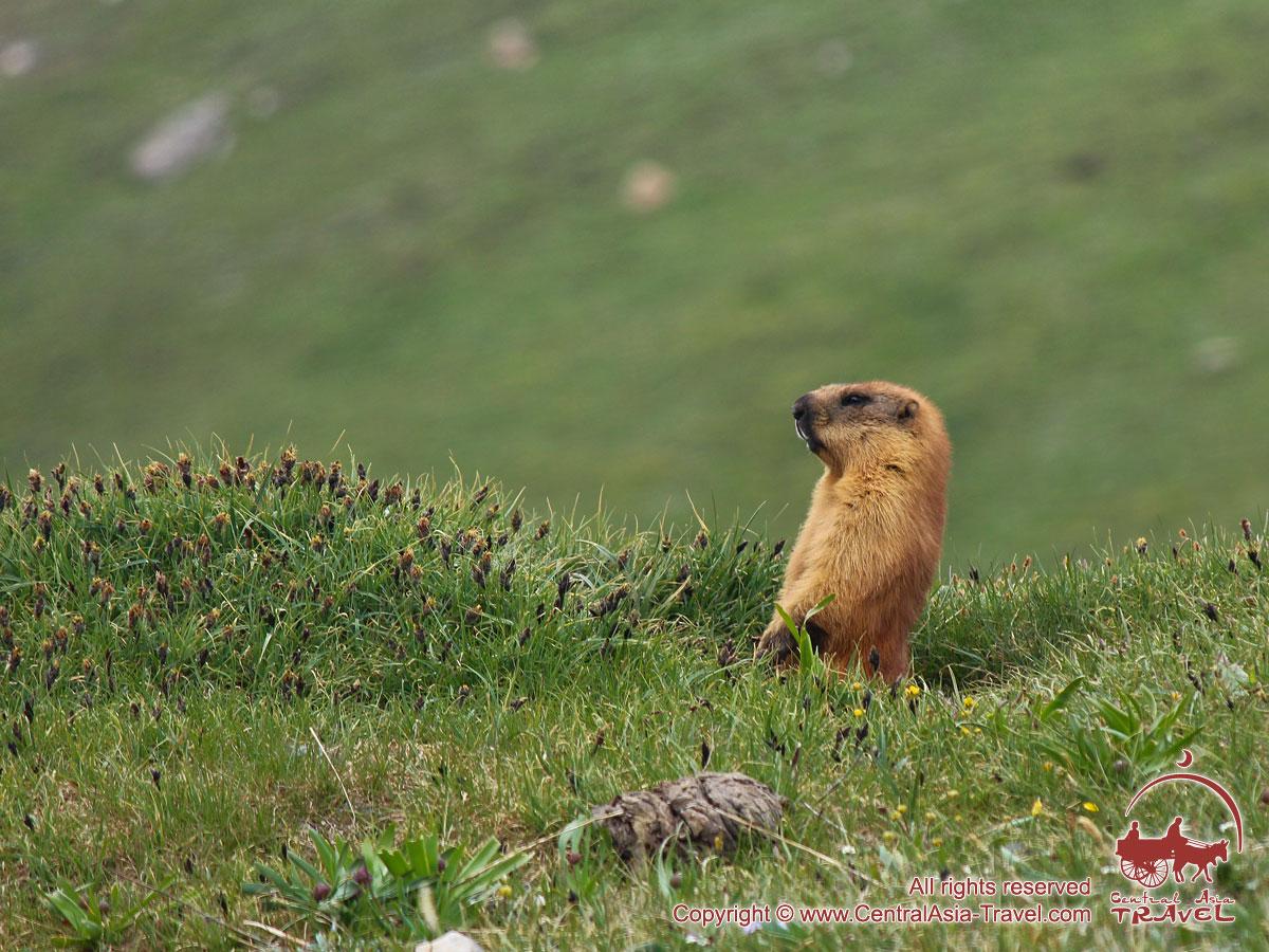 Marmots on the Lukovaya meadow. Lenin peak, Pamir, Kyrgyzstan
