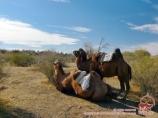 Camellos en el desierto de Kyzylkum