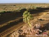 Флора пустыни Кызылкум. Узбекистан