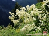 Flores de Tian-Shan. Kirguistán