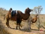 Верблюды возле озера Айдаркуль. Узбекистан