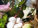 Coton ouzbek. La production de coton en Ouzbékistan