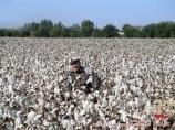 Usbekische Baumwolle. Die Baumwollproduktion in Usbekistan