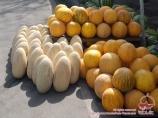 Sweet melon. Osh, Kyrgyzstan