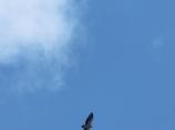 Сип белоголовый в горах Памира