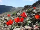 Маки в Нуратинских горах, Узбекистан