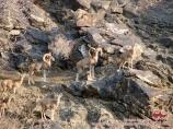 Горные бараны Северцева. Нуратинские горы, Узбекистан