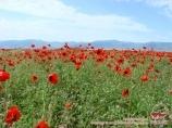 Цветение маков. Нуратинские горы. Узбекистан