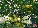 Нуратинские яблоки
