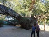700 year old willow. White Mountains Aktau