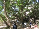 Тысячелетняя орешина