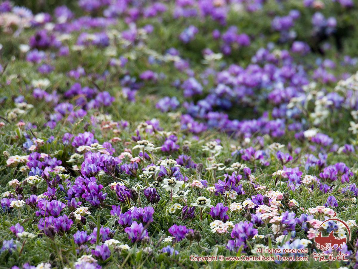 Цветы Памира. Пик Ленина, Памир, Кыргызстан