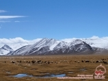 Countless herds of sheep in Murghab. Tadjikistan