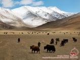 Yacks. Boulounkoul (3700 m), Tadjikistan